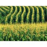Learn to harvest Khao Pod (PKG1079)