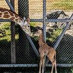ข้อมูลเที่ยวออสเตรเลีย : สวนสัตว์เมืองเพิร์ท (Perth Zoo)