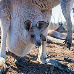 ข้อมูลเที่ยวประเทศออสเตรีย : เกาะจิงโจ้(Kangaroo Island)