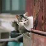 """ข้อมูลเที่ยวญี่ปุ่น : """"เกาะแมว Aoshima"""" คนรักแมวต้องไป"""