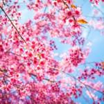 ข้อมูลเที่ยวญี่ปุ่น : ชมซากุระ
