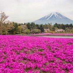 ข้อมูลเที่ยวญี่ปุ่น : The Fuji Shibazakura Festival