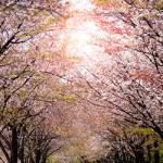 ข้อมูลเที่ยวญี่ปุ่น : เทศกาลชมดอกซากุระ หรือฮะนะมิ (Hanami)
