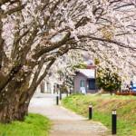 ข้อมูลเที่ยวญี่ปุ่น : เทศกาลชมดอกชากุระเมืองฮานามิ (Hanami)