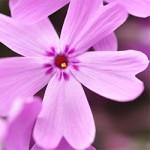 ข้อมูลเที่ยวญี่ปุ่น : ดอกชิบะซากุระ (Moss Phlox)คืออะไร?