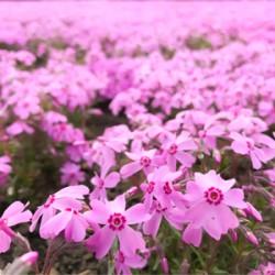 ข้อมูลเที่ยวญี่ปุ่น : เที่ยวญี่ปุ่น ชมทุ่ง Pinkmoss ที่ Hokkaido
