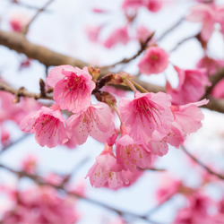 พยากรณ์ญี่ปุ่นซากุระบาน ประจำปี 2561 [ 2018 Japan Cherry Blossom Forecast ]