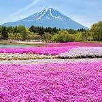 ข้อมูลเที่ยวญี่ปุ่น : ชมทุ่ง Pinkmoss ที่ Tokyo