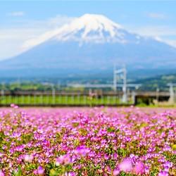 ข้อมูลเที่ยวญี่ปุ่น : ดอกไม้ในเทศกาล ฟูจิ ชิบะซากุระ (Shibazakua in Fuji Shibazakura Festival)