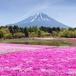 ข้อมูลเที่ยวญี่ปุ่น : ไปตื่นตากับทุ่งดอก Shibazakura หรือ Moss Pink กันเถอะ!