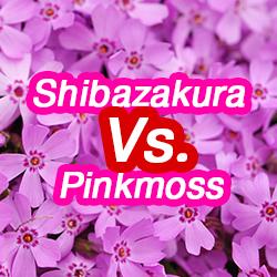 ข้อมูลเที่ยวญี่ปุ่น : Shibazakura กับ Pinkmoss เหมือนกันหรือไม่?