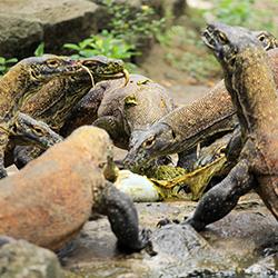 ข้อมูลเที่ยวอินโดนีเซีย : อุทยานแห่งชาติโคโมโด (Komodo National Park)