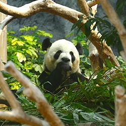 ข้อมูลเที่ยวมาเก๊า : ศาลาแพนด้ายักษ์มาเก๊า (Macau Giant Panda Pavilion)