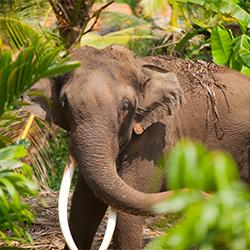 ข้อมูลเที่ยวศรีลังกา : ช้างศรีลังกา