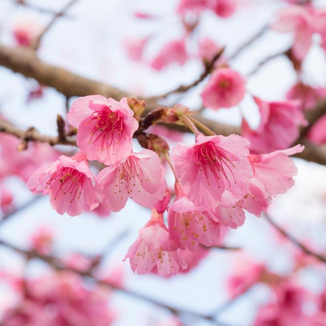 Sakura , ซากุระ, 2018 Japan Cherry Blossom Forecast , พยากรณ์ญี่ปุ่นซากุระบาน ประจำปี 2561